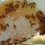 beekeeping4